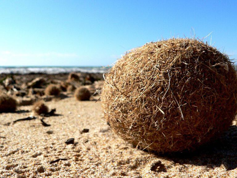 Die runden, faserig-filzigen Seebälle sind weltweit an Stränden zu finden und gut als natürlicher Dämmstoff geeignet. Foto: Ezu/Wikipedia, Lizenz: CC BY-SA 2.0